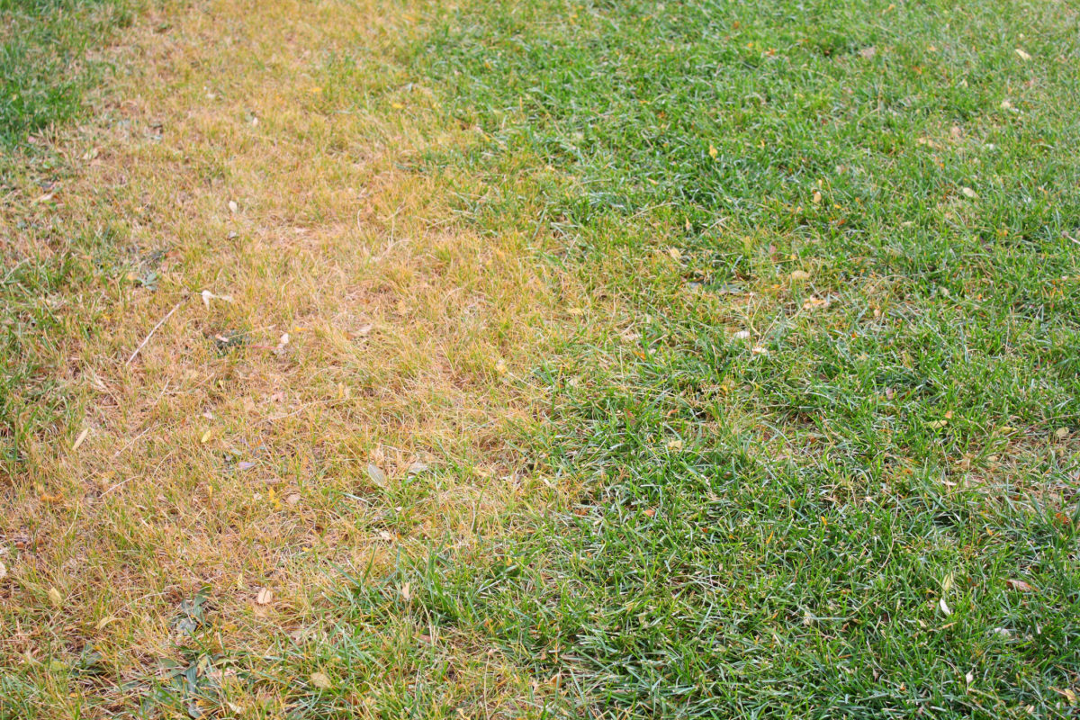 lawn with heat stress