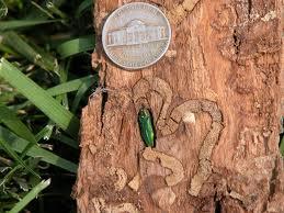 Emerald Ash Borer larva next to nickel
