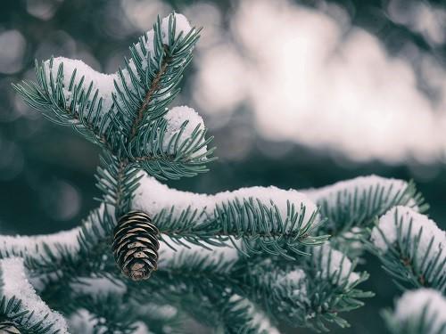Pine tree with snow on it