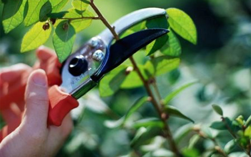 Pruning sheers cutting a branch