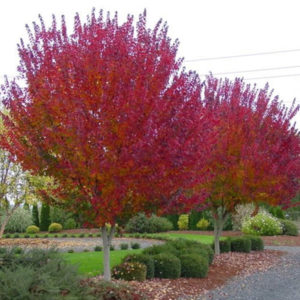 Photo of: Burgundy Belle Red Maple