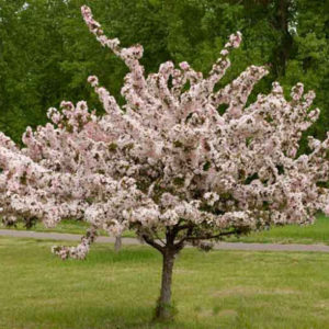Photo of: Camelot Crabapple