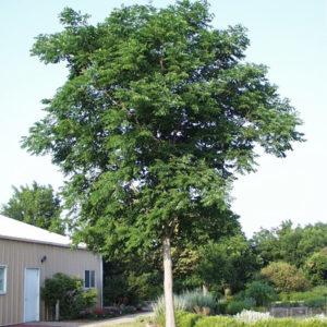 Kentucky Coffeetree