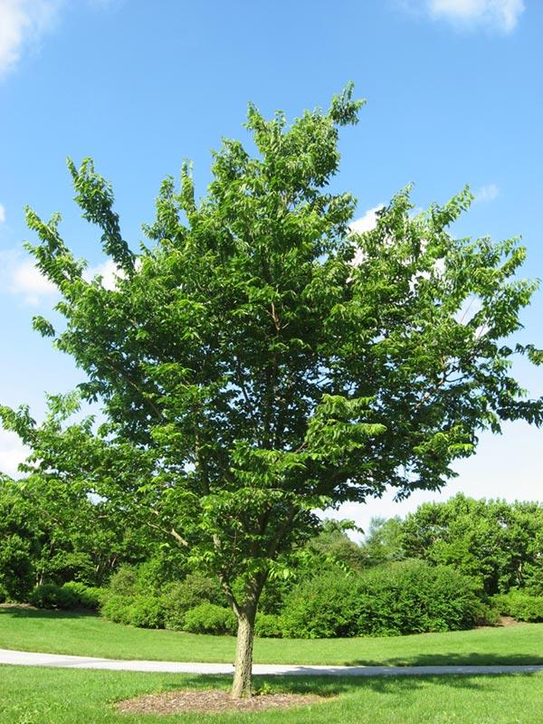 Northern Hackberry