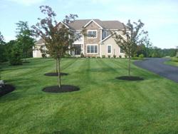 Fertilized trees in lawn