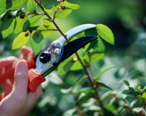 Pruning plant